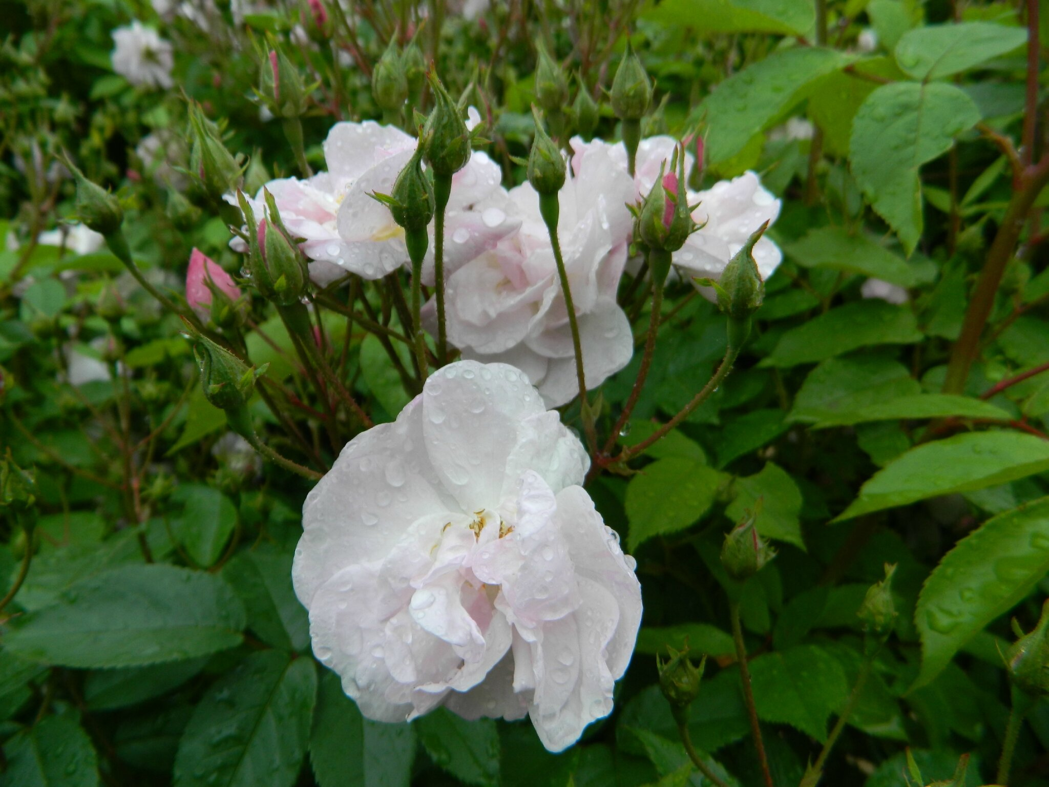 La cl ture de rosiers le jardin par passion - Rosier mange par des chenilles ...