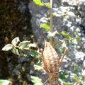 Ephippigère carénée • Uromenus brevicollis insularis
