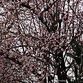 Prunus 2502162