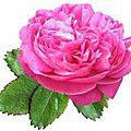 Rose thérapie