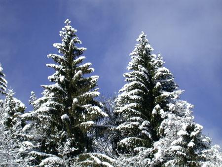 sapin_dans_la_neige