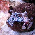 Crevettes bariolées