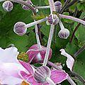 Les anemones du japon roses