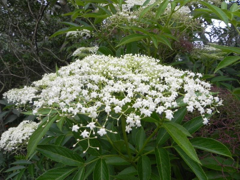 fleurs blanches foret primaire especes endemiques et indigenes de la region du tampon piton. Black Bedroom Furniture Sets. Home Design Ideas