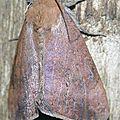 Achaea violaceofascia richardi