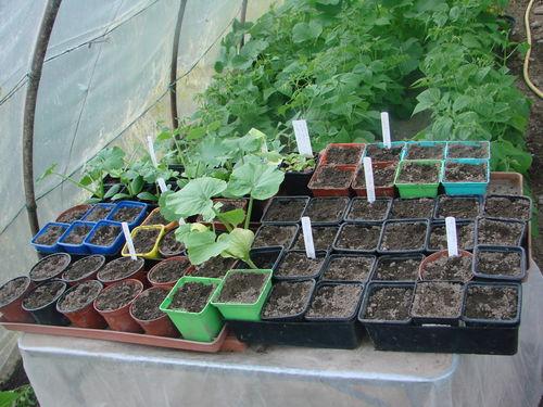 2008 06 04 Mes nouveau semis de courgettes et Potirons