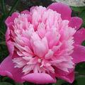 2009 06 16 Une fleur de pivoine Crousse