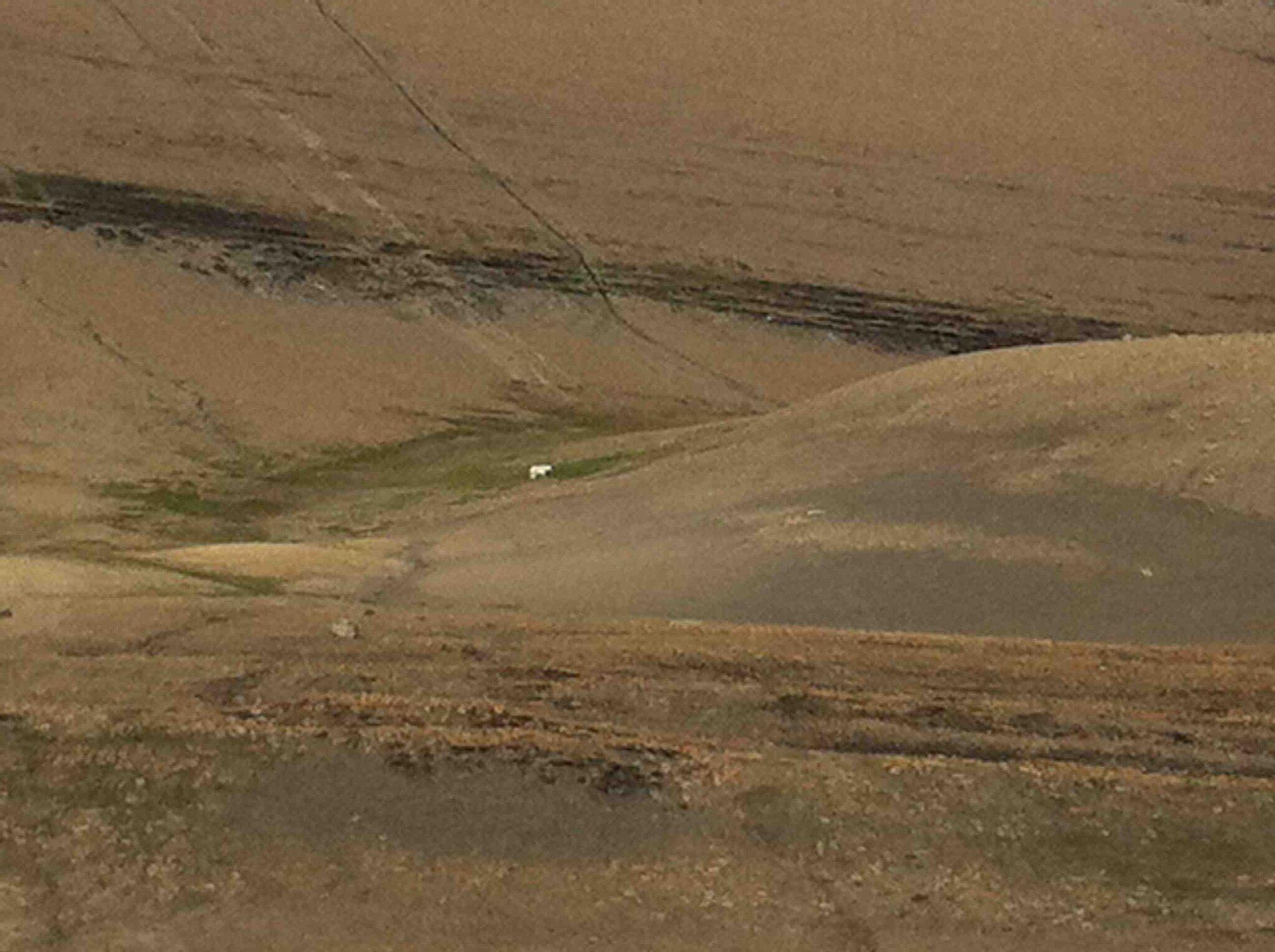 Ours blanc dans la prairie