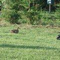 Des canards nous rendent visite