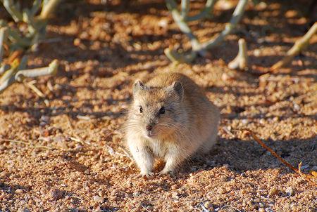 Rat__d_sert_du_Namib__Namibie