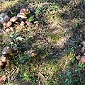 Tapis de 30 cèpes noirs en bordure de prairie sous un chêne...