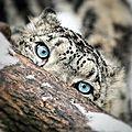 leopard yeux bleus