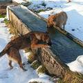 2009 01 09 Kapy et Cacahuète qui boivent l'eau au bassin
