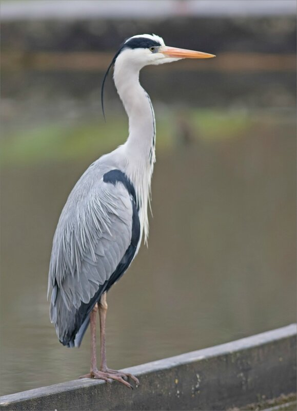 Ville oiseau heron peche matin 170218 ym 2 22 digestion