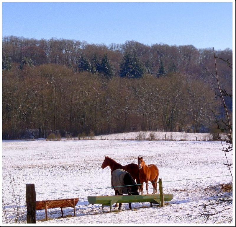 Chevaux dans la neige (2)
