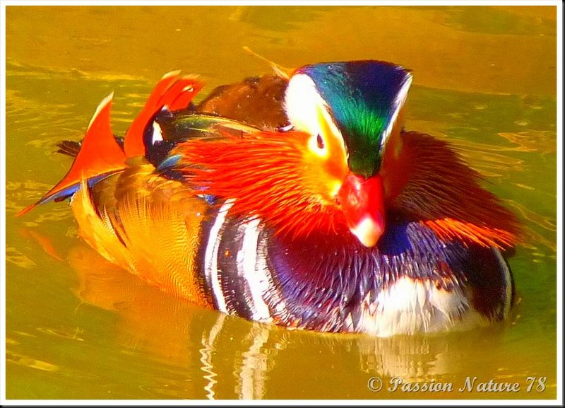 Le canard mandarin (4)