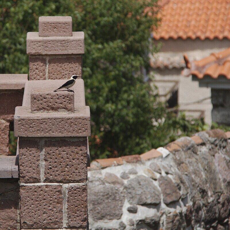 Lesbos oiseaux 26 - Traquet oreillard