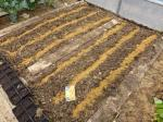 26-semis carottes (1)