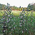 Les asters, fleurs d'automne par excellence...