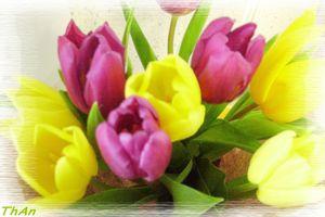 tulipes_002_pf