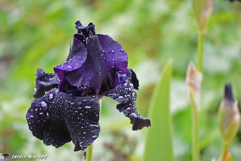 Iris-noir