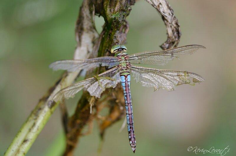 Anax empereur femelle androgyne (3)