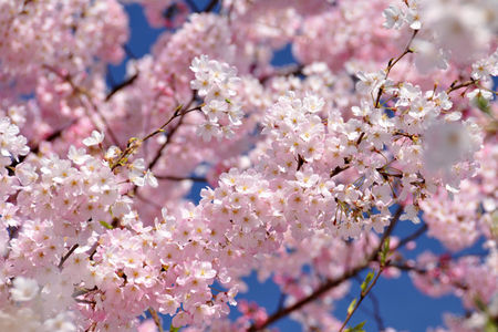1_avril_japon_sakura
