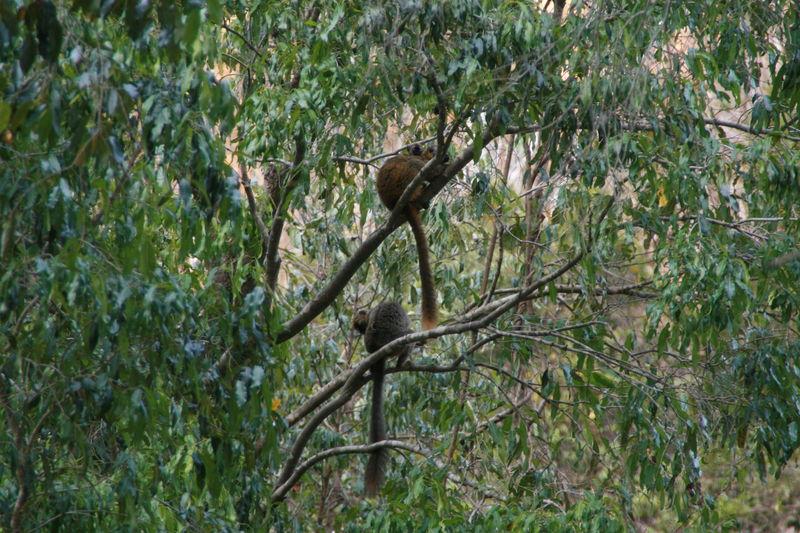 Lémuriens (descente de la Tsiribinha) 1