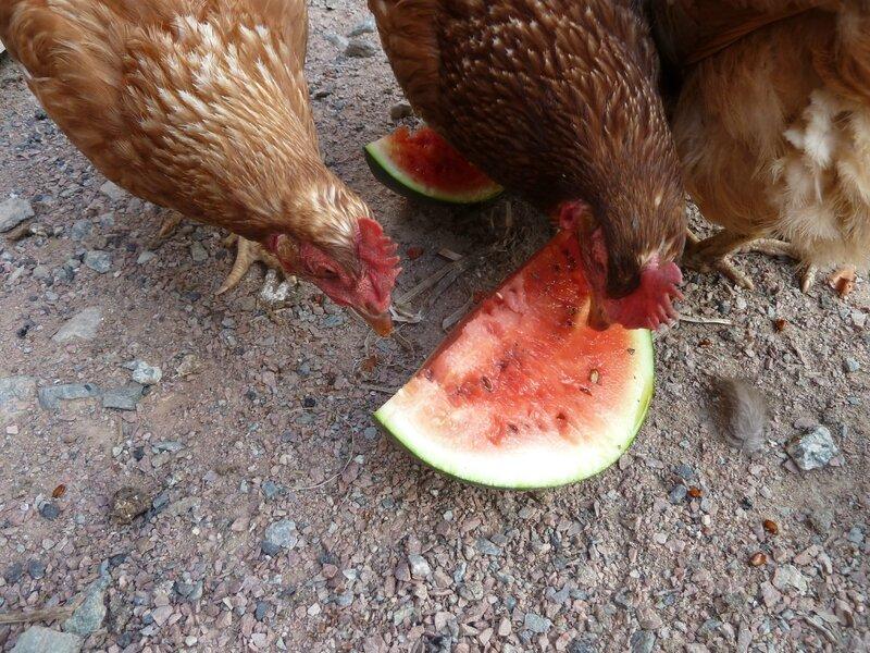 10-pastèque et poules (14)