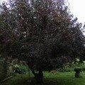 Prunus - octobre 06