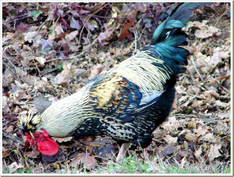 Poules et poulaillers (10)