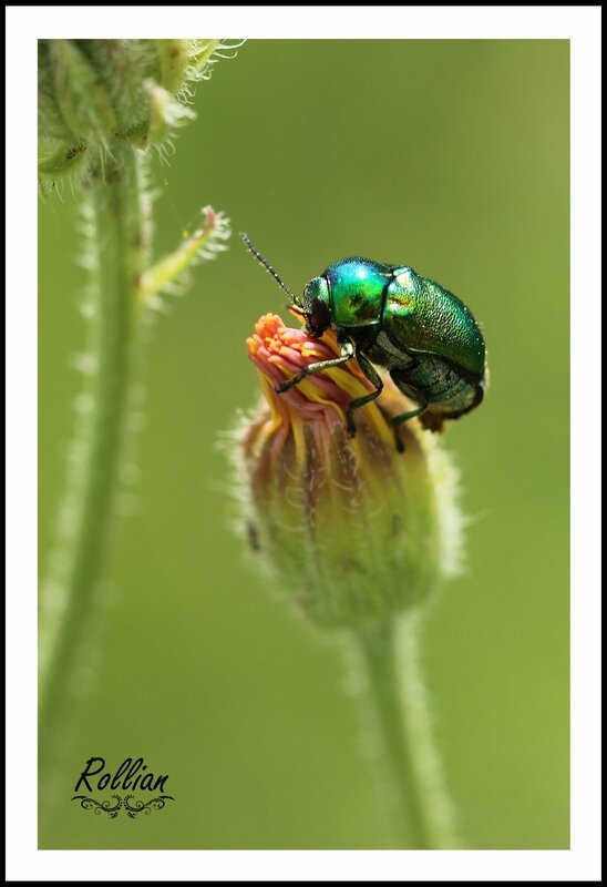 Chrysolina herbacea1