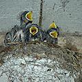 Bébés hirondelle affamés vite vite un moucheron