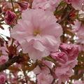 2008 05 09 Une fleur de cerisier d'ornement