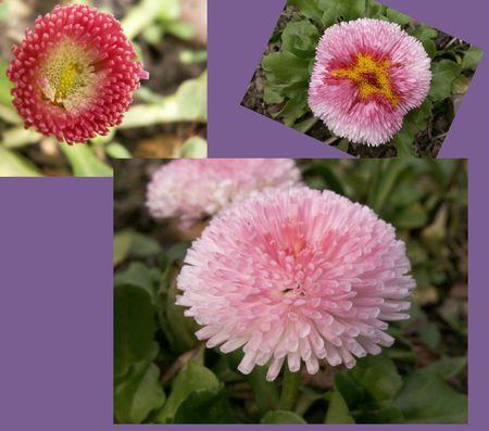 Les fleurs pompons