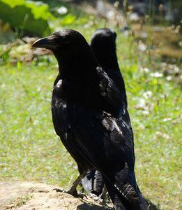 corbeaux 2