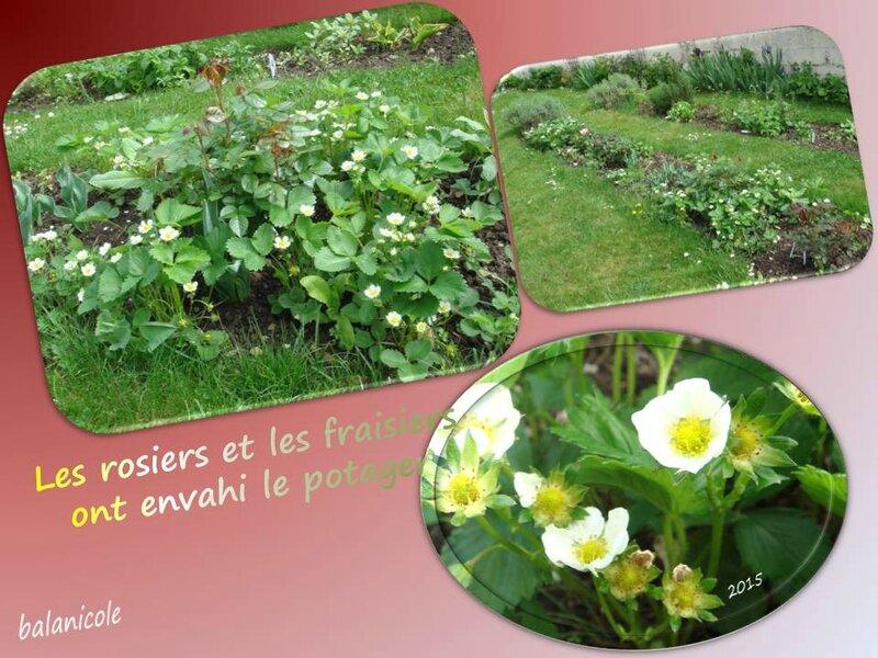 balanicole_2015_mai_50_fraisiers