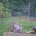 Poules, pigeons....
