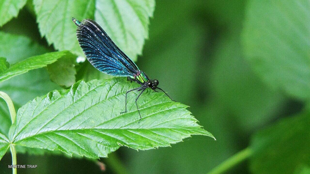 Calopteryx vierge mâle