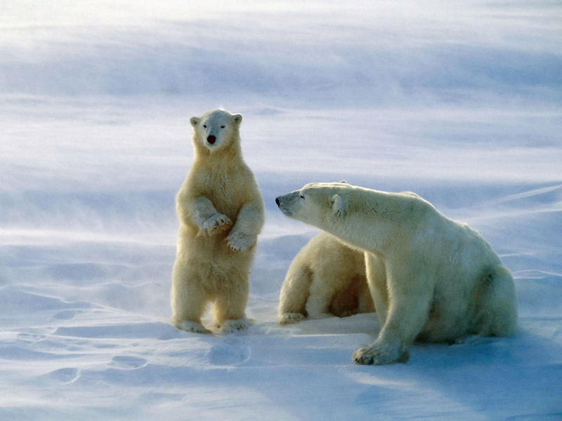 Polar_Bears__Churchill__Canada
