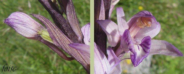 bractées dépassant l'ovaire éperon en alêne pollinies indivises