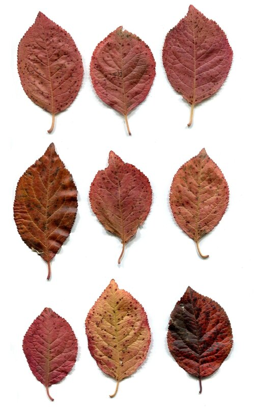 feuilles recto