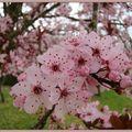 Samedi 12/03/11 fleurs de prunus