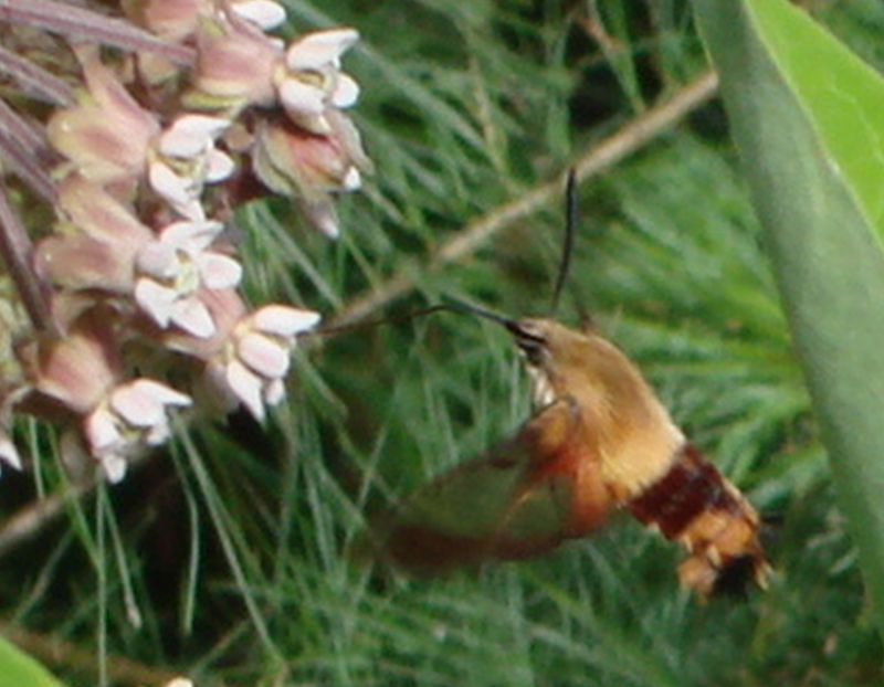 Sphinx colibri - Hummingbird Clearwing