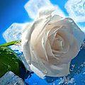 indexrose blanche