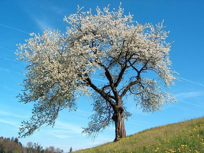 Le questionnaire du printemps le petit monde elfique - Greffe du cerisier au printemps ...