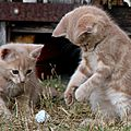 Chatons roux et baballe