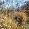 herbes dorées