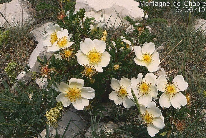 rosa spinosissima AA