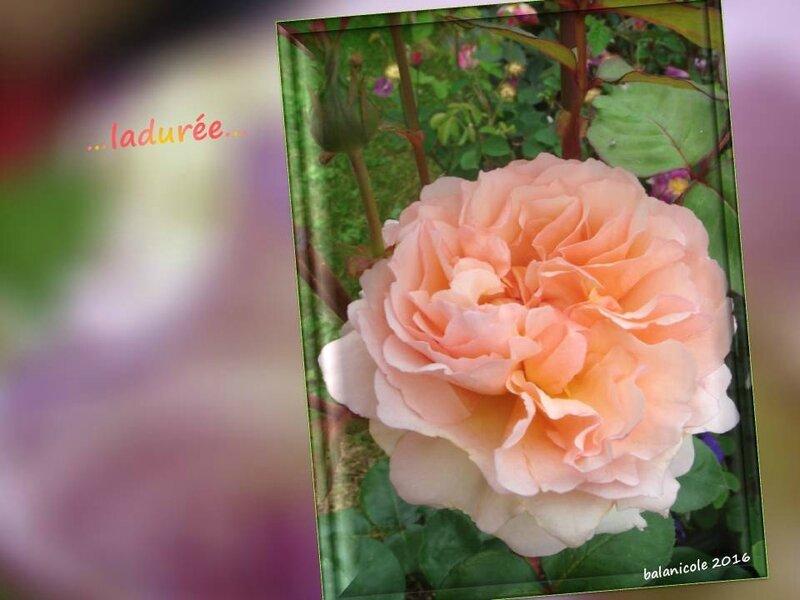 balanicole_2016_11_les nouveaux rosiers de balanicole_L comme ladurée_11